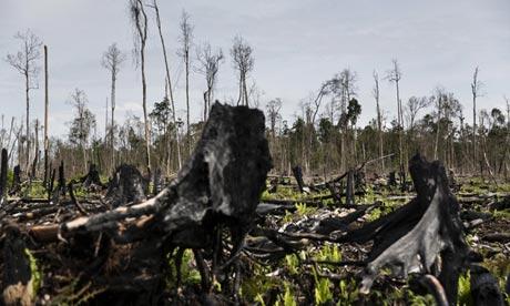 Burnt trees in Sumatran forest.Photograph: Kemal Jufri / Greenpeace