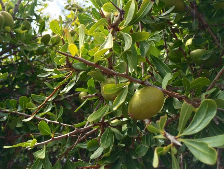 argan tree how fairtrade organic argan oil is made in morocco weleda
