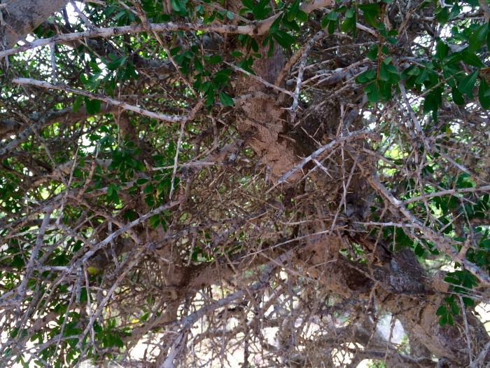 thorny argan tree how fairtrade organic argan oil is made in morocco weleda