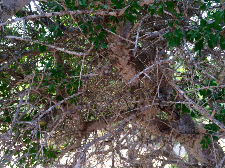 thorny argan tree how fairtrade organic argan oil is made in morocco weleda