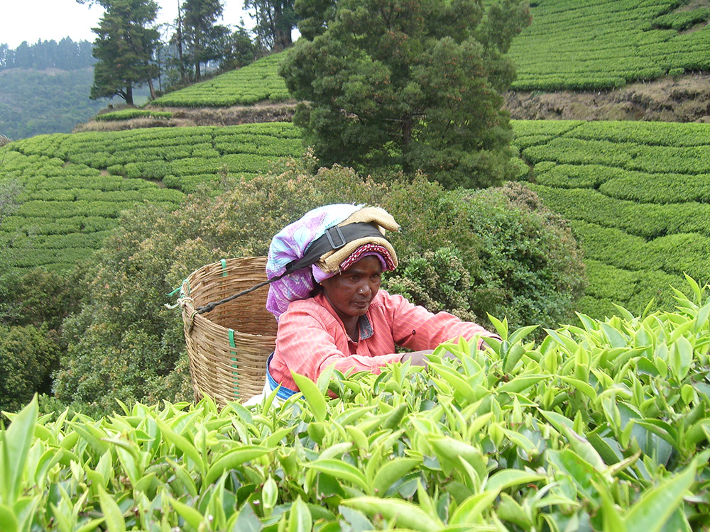 clipper teas organic farming india tea plantations picking leaves