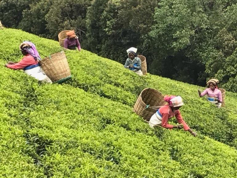 clipper teas organic farming india