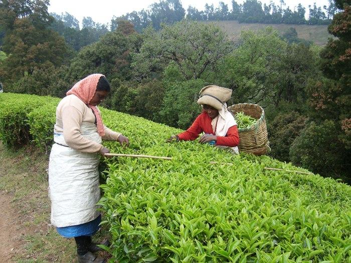 clipper-teas-organic-tea-farming-india-picking-tea-leaves-plantations